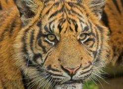 sumatran-tiger-whf-2488-copyright-photographers-on-safari-com