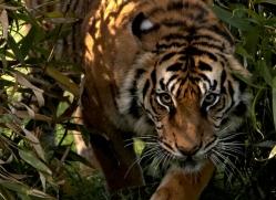 sumatran-tiger-whf-2490-copyright-photographers-on-safari-com