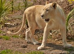 white-lions-whf-2402-copyright-photographers-on-safari-com