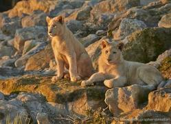 white-lions-whf-2403-copyright-photographers-on-safari-com