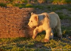 white-lions-whf-2404-copyright-photographers-on-safari-com