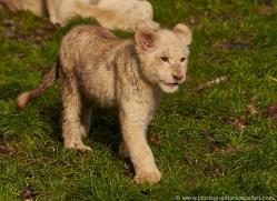 white-lions-whf-2413-copyright-photographers-on-safari-com