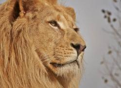 white-lions-whf-2415-copyright-photographers-on-safari-com