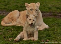 white-lions-whf-2416-copyright-photographers-on-safari-com