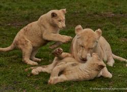 white-lions-whf-2417-copyright-photographers-on-safari-com