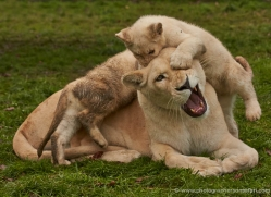white-lions-whf-2418-copyright-photographers-on-safari-com