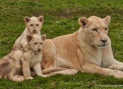 white-lions-whf-2419-copyright-photographers-on-safari-com