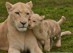 white-lions-whf-2421-copyright-photographers-on-safari-com