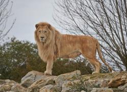 white-lions-whf-2422-copyright-photographers-on-safari-com