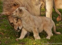 white-lions-whf-2425-copyright-photographers-on-safari-com