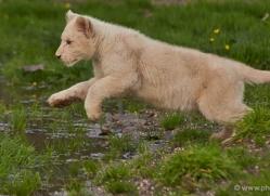 white-lions-whf-2426-copyright-photographers-on-safari-com