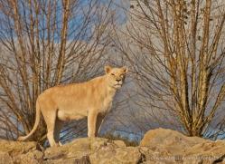 white-lions-whf-2431-copyright-photographers-on-safari-com