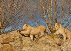 white-lions-whf-2432-copyright-photographers-on-safari-com