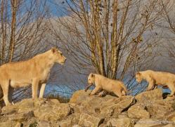 white-lions-whf-2433-copyright-photographers-on-safari-com