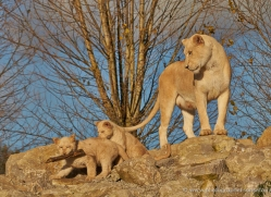white-lions-whf-2434-copyright-photographers-on-safari-com