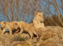 white-lions-whf-2435-copyright-photographers-on-safari-com