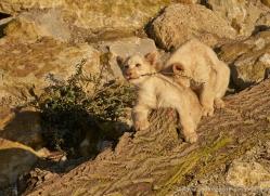 white-lions-whf-2436-copyright-photographers-on-safari-com