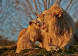 white-lions-whf-2437-copyright-photographers-on-safari-com