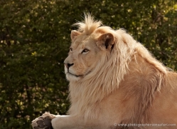 white-lions-whf-2438-copyright-photographers-on-safari-com