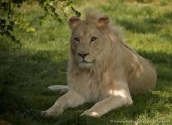 white-lions-whf-2439-copyright-photographers-on-safari-com