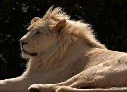 white-lions-whf-2441-copyright-photographers-on-safari-com