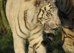 white-tiger-whf-2453-copyright-photographers-on-safari-com