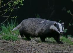 badger-209-kent-wildwood-copyright-photographers-on-safari-com