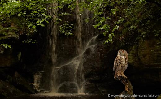European-Eagle Owl-4108-northumberland-copyright-photographers-on-safari-com