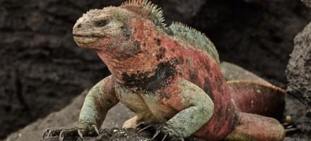 Iguana-1743-Galapagos-copyright-photographers-on-safari-com