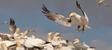 Gannet-Bass-Rock-431-copyright-photographers-on-safari-com