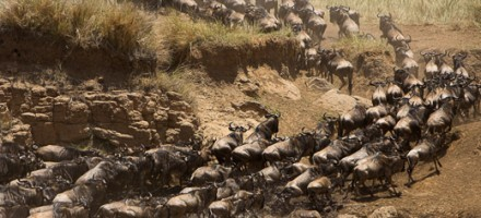Migration-River-Crossings-Masai-Mara-1606-copyright-photographers-on-safari-com