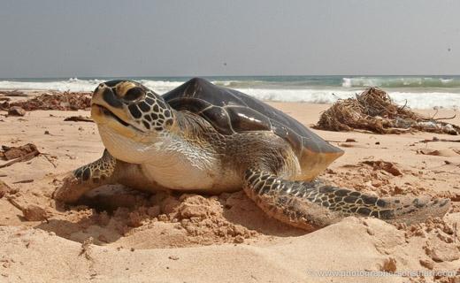 Turtle-Sri-Lanka-2836-copyright-photographers-on-safari-com