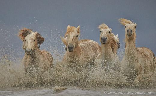 White Horses of the Camargue 2013