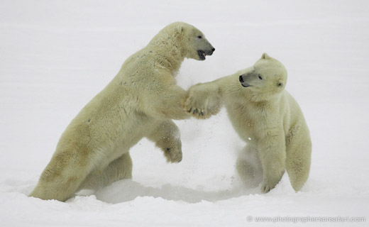 Polar Bears of Cape Churchill – ITN's Version of part of our trip