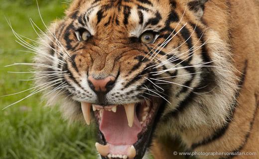 More Big Cat Cubs & Kittens Born at WHF 2012