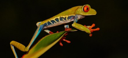 red-eyed-leaf-frog-5051-copyright-photographers-on-safari-com