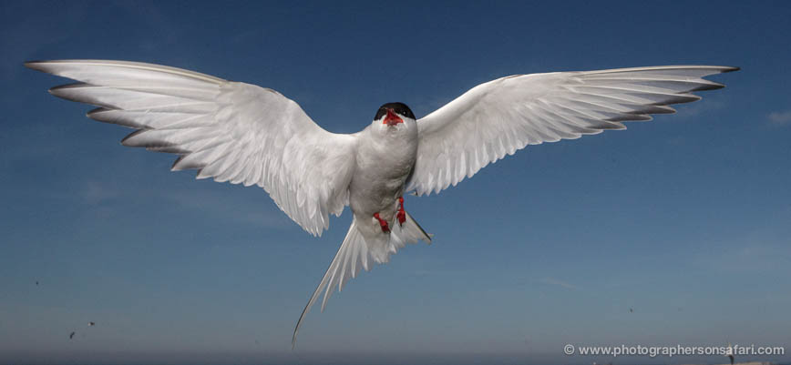Arctic-Tern-598-copyright-photographers-on-safari-com-1