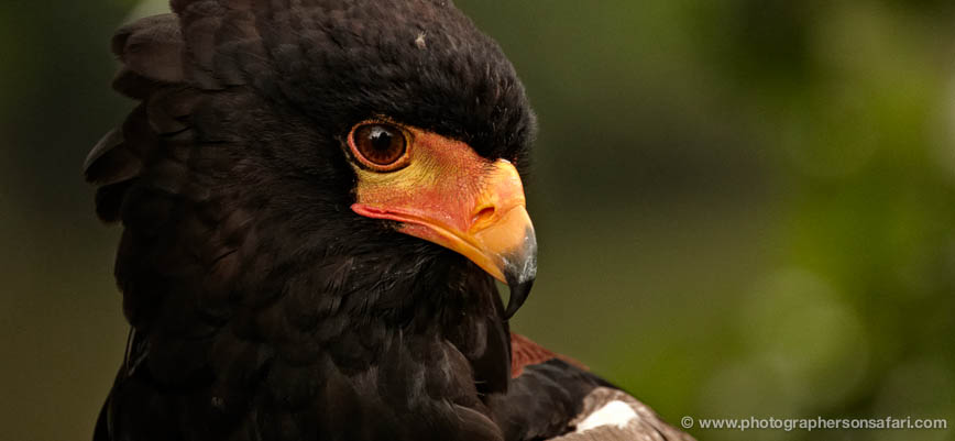 Bateleur-Eagle-562-bedford-copyright-photographers-on-safari-com-1