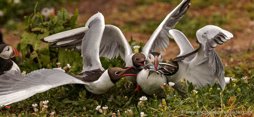 Black-Headed-Gulls-attacking-Puffins-615-copyright-photographers-on-safari-com-1