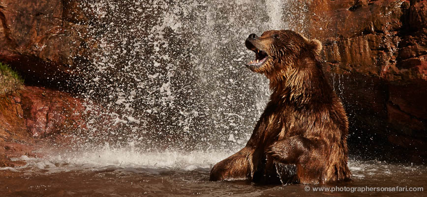 Brown-Bear-Moab-2098-copyright-photographers-on-safari-com-1
