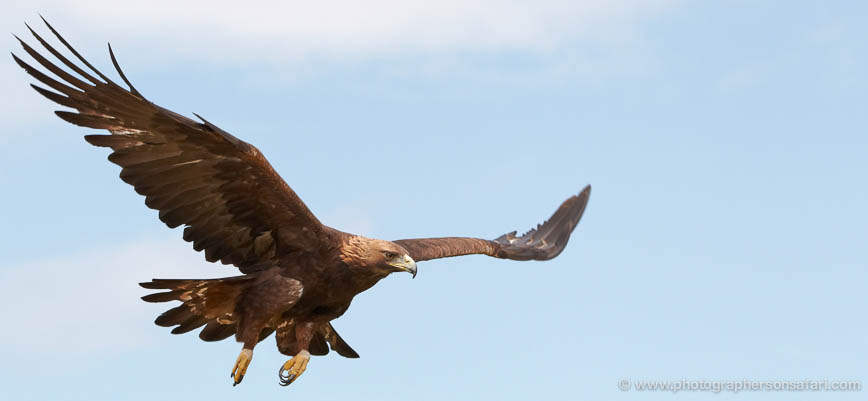 Golden-Eagle-057-northumberland-copyright-photographers-on-safari-com-1