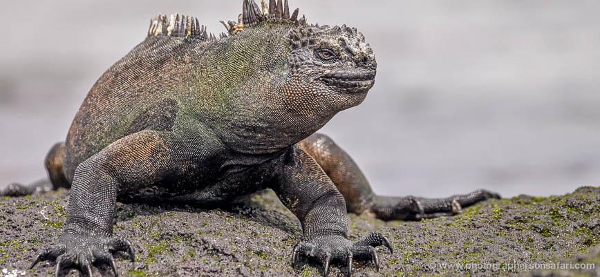 Iguana-1748-Galapagos-copyright-photographers-on-safari-com-1