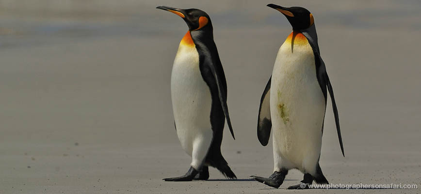 King-Penguin-Falkland-Islands-4853-copyright-photographers-on-safari-com-1