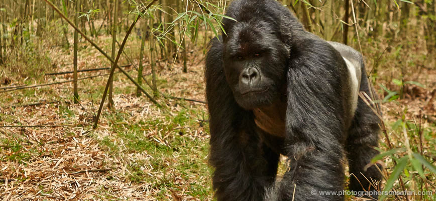 Mountain-Gorilla-Rwanda-3138-copyright-photographers-on-safari-com-1