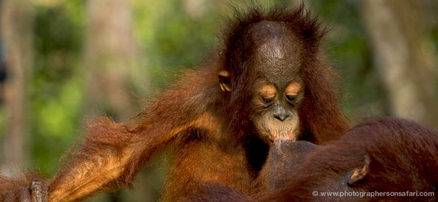 Orangutan-3438-borneo-copyright-photographers-on-safari-com-1