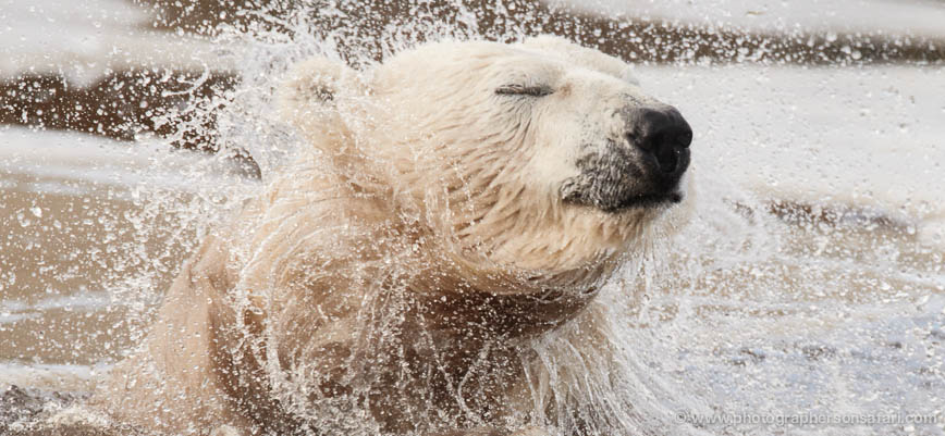 Polar-Bear-4259-capercaille-copyright-photographers-on-safari-com-1