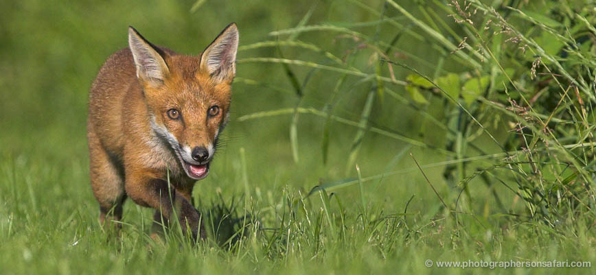 Red-Fox Cub-British-Wildlife-2711-copyright-photographers-on-safari-com-1