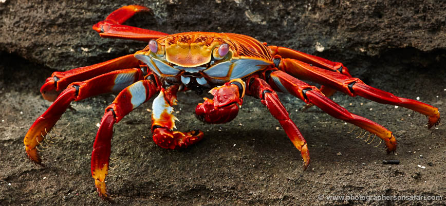 Sally-Lightfoot-Crab-1796-Galapagos-copyright-photographers-on-safari-com-1