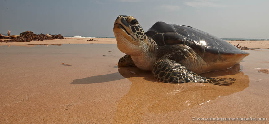 Turtle-Sri-Lanka-2838-copyright-photographers-on-safari-com-1