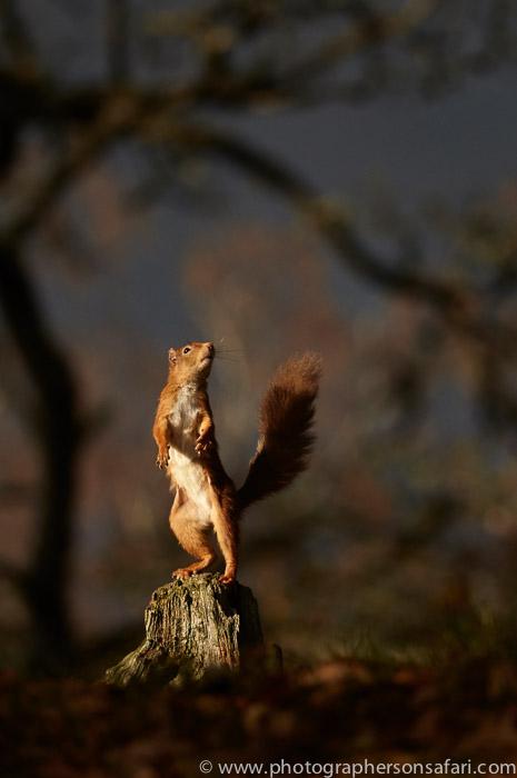 Red Squirrel 2014-5copyright-photographers-on-safari-com